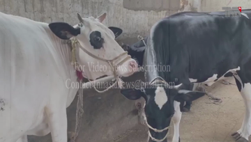 Karachi- Corona virus, sell animals in cattle markets as well as farmhouses